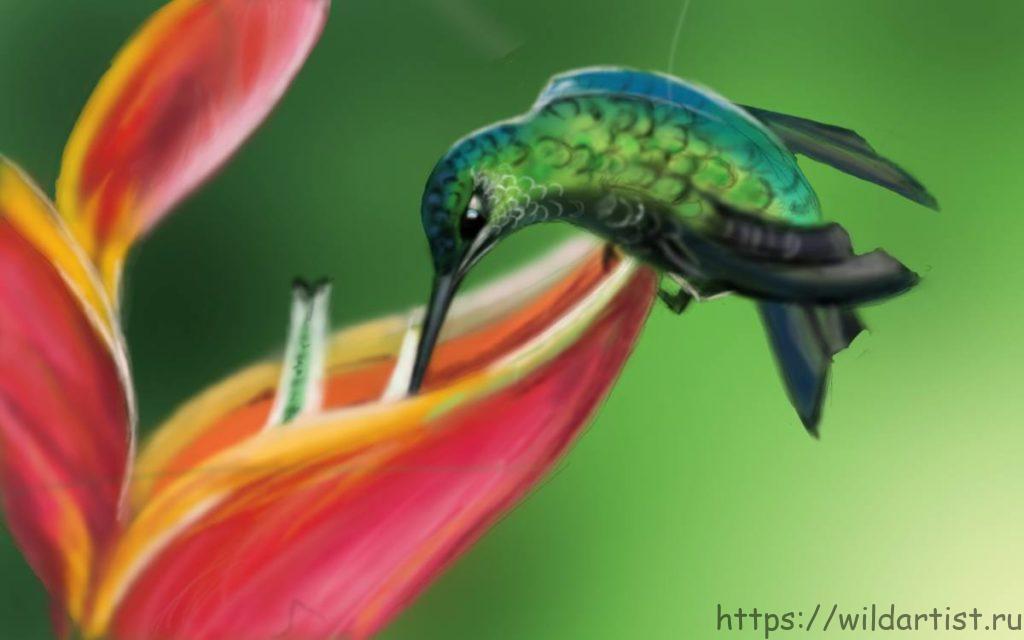 рисунокж колибри